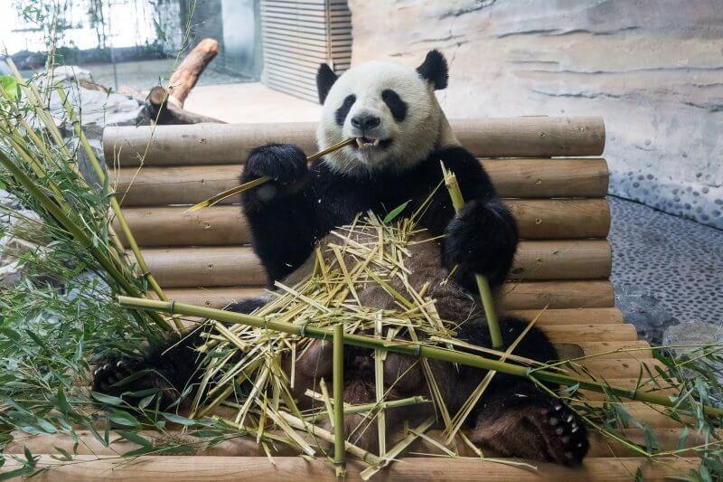 Кормление панды в зоопарке