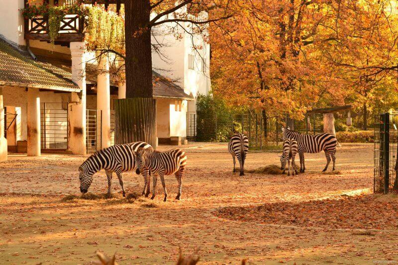 Зебры в зоопарке