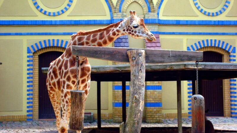 Жирафы в зоопарке Берлина