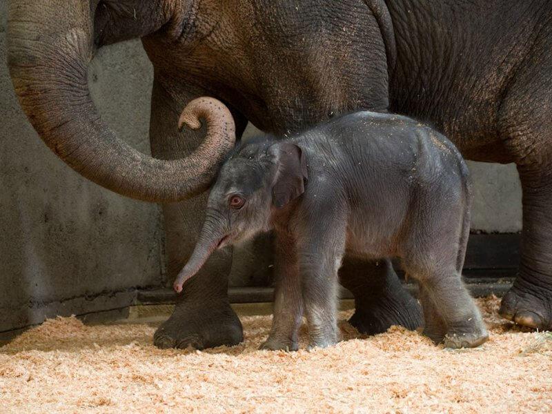Индийский слонёнок в зоопарке