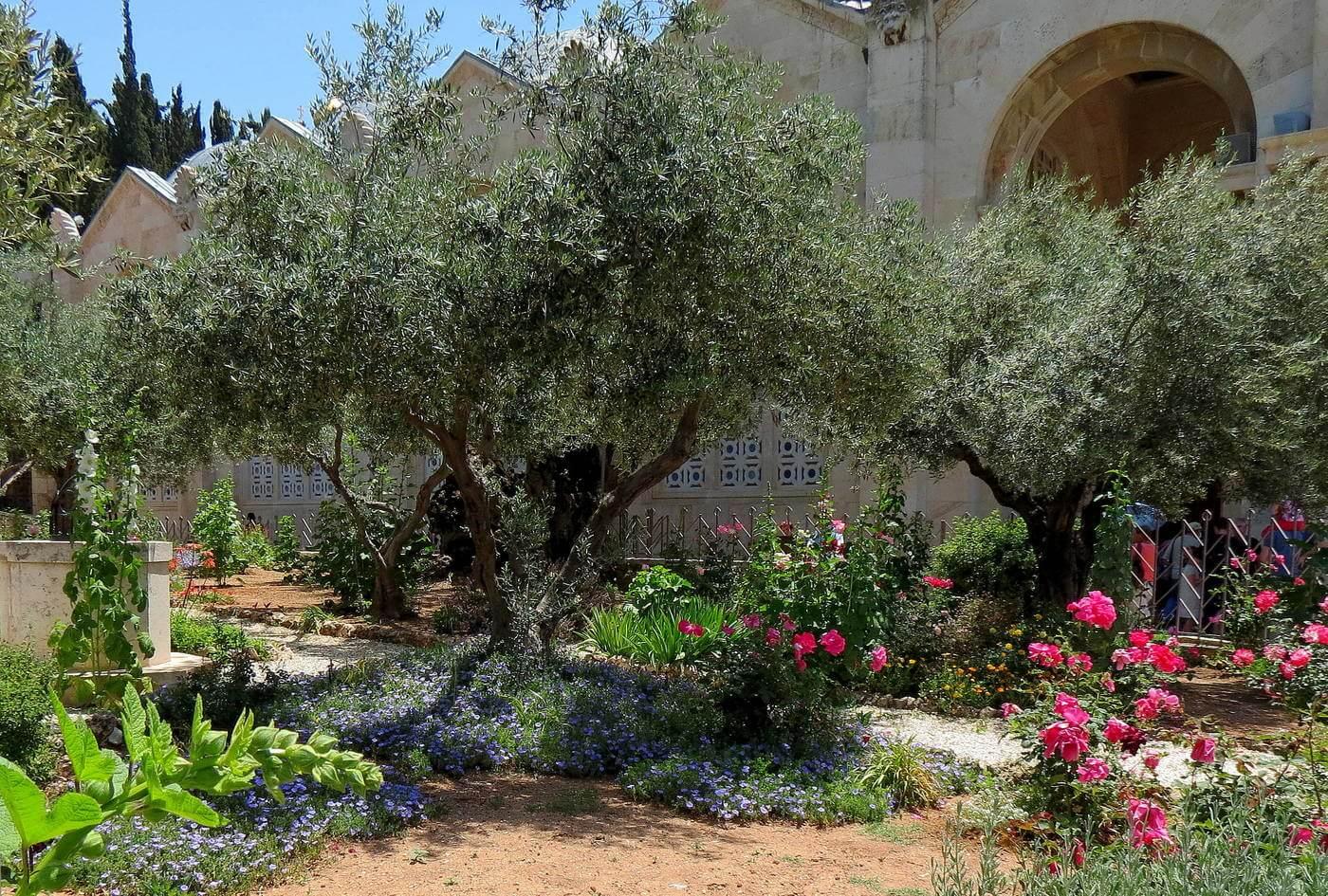 знаешь, гефсиманский сад иерусалим фото юный