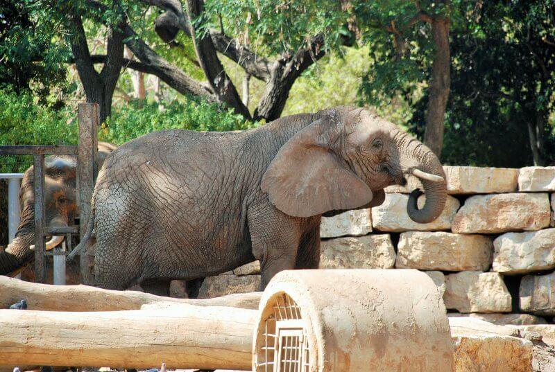 Слон в Сафари парке в Рамат-Гане