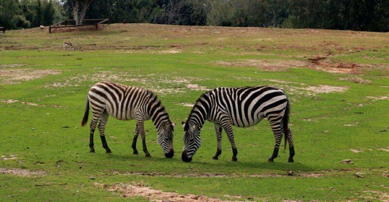 Зебры в Сафари парке в Рамат-Гане