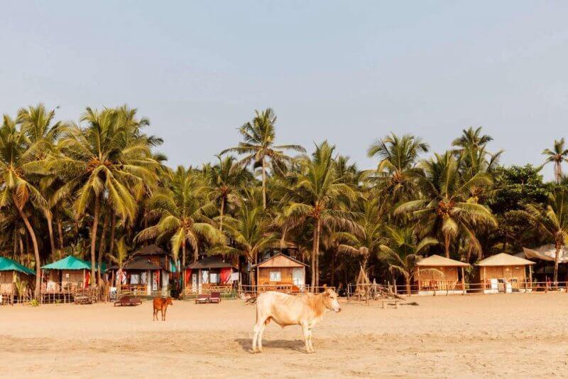 Корова на пляже Агонда
