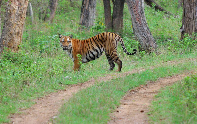 Тигр в национальном парке Бандипур