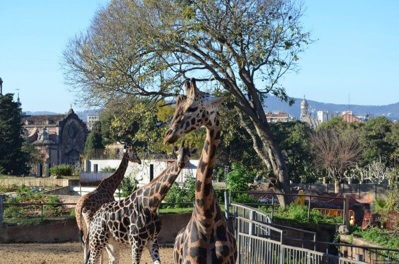 Жирафы в зоопарке Цитадели