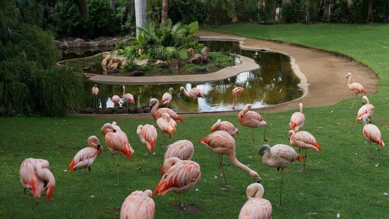 Фламинго в Лоро парке