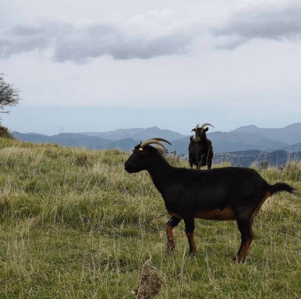 Пасущиеся козы