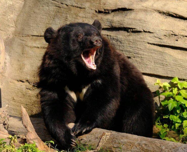 Черный ведмедь