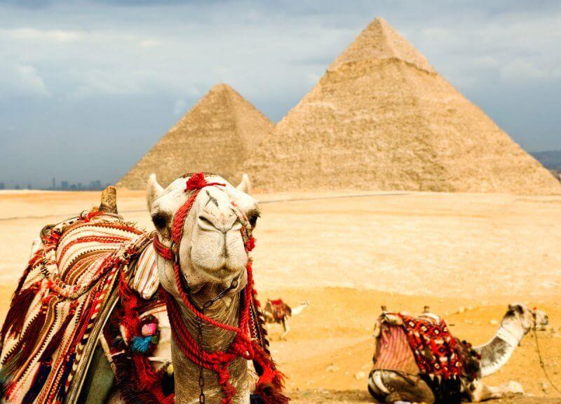 верблюды на фоне пирамид